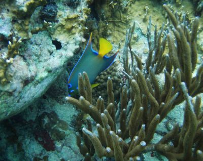 Angel Fish in Caribbean Coral - St Maarten - St Martin